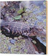 Florida Alligator Sunning Wood Print