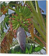Florida Banana Flower And Fruit Wood Print