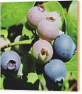 Florida - Blueberries - On The Bush Wood Print