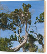 Florida Cedar Tree Wood Print