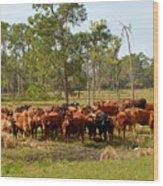 Florida Cracker Cows #1 Wood Print