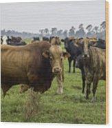 Florida Cracker Cows #2 Wood Print
