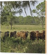 Florida Cracker Cows #3 Wood Print