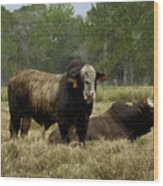 Florida Cracker Cows #4 Wood Print