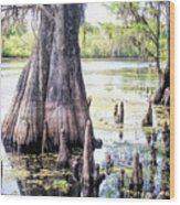 Florida Cypress, Hillsborough River, Fl Wood Print