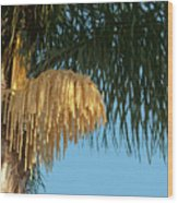 Florida Queen Palm Flower   Wood Print