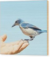 Florida Scrub Jay In Hand Wood Print