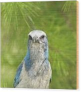 Florida Scrub Jay In Pine Wood Print