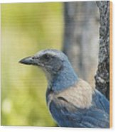 Florida Scrub Jay On Tree Trunk 2 Wood Print