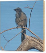 Florida Scrub Jay Watching The Lay Of The Scrub Wood Print