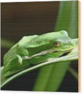 Florida Tree Frog Wood Print