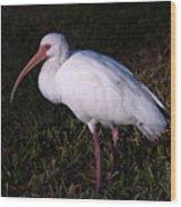 Florida White Ibis  Eudocimus Alba Wood Print