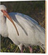 Florida White Ibis  Eudocimus Albus Wood Print