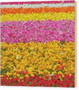 Flower Fields Carlsbad Ca Giant Ranunculus Wood Print