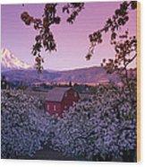 Flowering Apple Trees, Distant Barn Wood Print