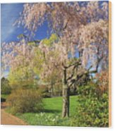 Flowering Cherry In Botanic Garden Wood Print