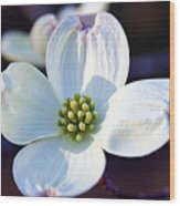 Flowering Dogwood Wood Print