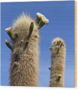 Flowering Echinopsis Atacamensis Cactus Bolivia Wood Print