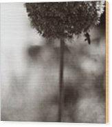Flowering Garlic Wood Print