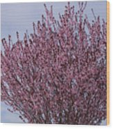 Flowering Plum In Bloom Wood Print