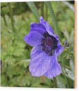 Flowering Purple Anemone Flower Blossom In A Garden Wood Print