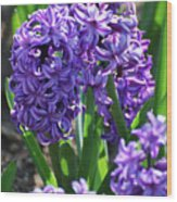 Flowering Purple Hyacinthus Flower Bulb Blooming Wood Print