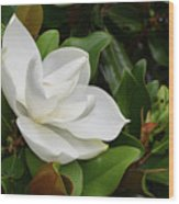 Flowering White Magnolia Blossom On A Magnolia Tree Wood Print