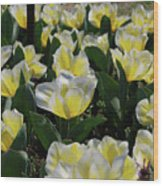 Flowering Yellow And White Tulips In A Spring Garden  Wood Print