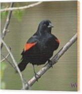 Fluffed Red-winged Blackbird Wood Print