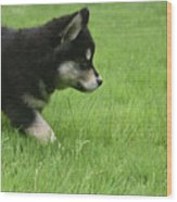 Fluffy Alusky Puppy Stalking In Green Grass Wood Print