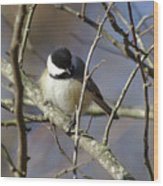 Fluffy Chickadee Wood Print