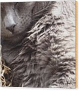 Fluffy Grey Putty Tat Wood Print