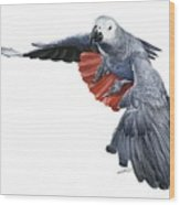 Flying African Grey Parrot Wood Print