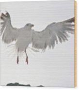 Flying European Herring Gull Wood Print