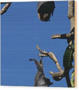 Flying Foxes In Sydney Wood Print