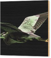 Flying Heron With Black Background Wood Print