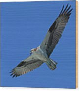 Flying Osprey Wood Print