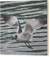 Flying Seagull Wood Print