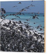 Flying Terns  On The Great Barrier Reef Wood Print