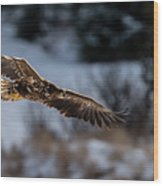 Flying White-tailed Eagle Wood Print