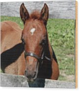 Foal Peaking Through Fence Wood Print
