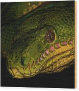 Focus - A Close Look At An Emerald Boa Constrictor Wood Print