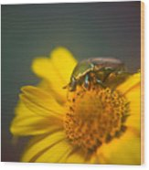Focused June Beetle Wood Print