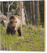 Foraging Grizzly Wood Print