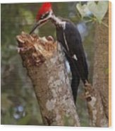 Foraging Pileated Woodpecker Wood Print