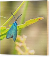 Forester Moth From Bulgaria Wood Print