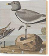 Fork-tailed Gull Wood Print