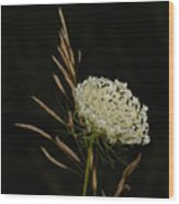 Formal Queen Anne's Lace Study Portrait Wood Print