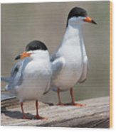 Forster's Terns Wood Print