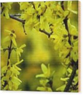 Forsythia At The Hacienda Wood Print